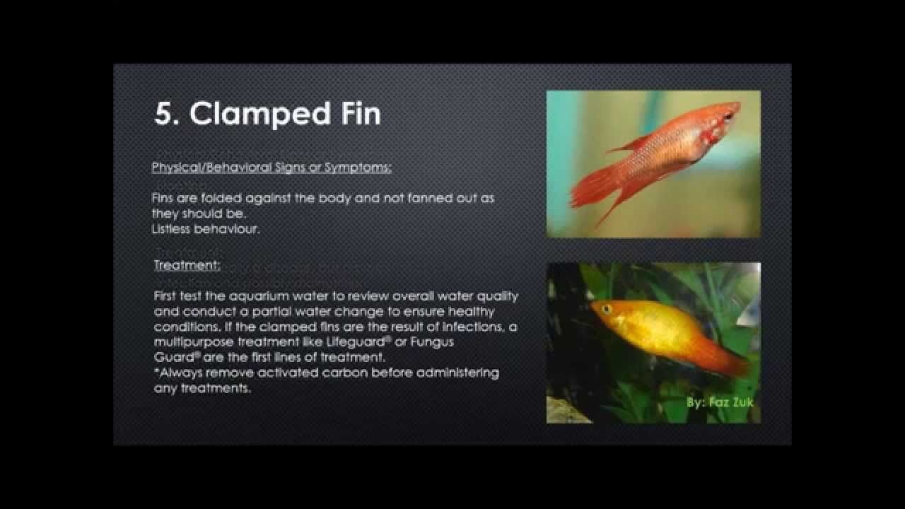 Freshwater aquarium fish illnesses - Tropical Fish Diseases And Treatment Hd