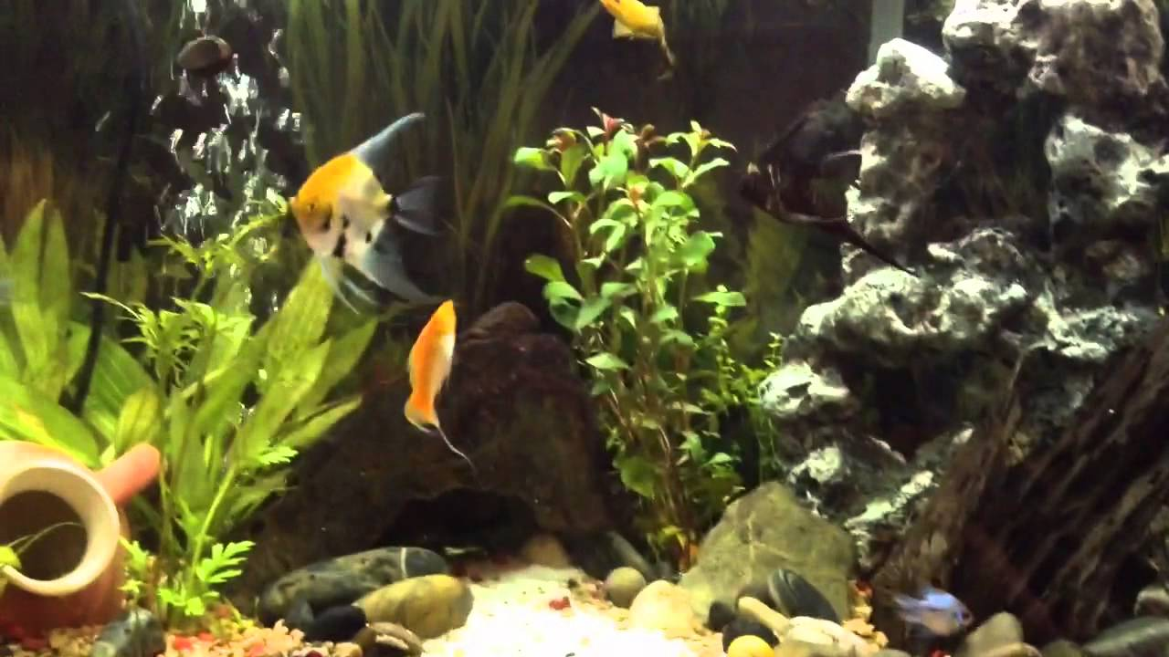 Freshwater fish acclimation - How To Introduce New Fish To You Aquarium Drip Acclimation