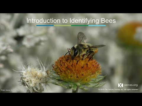 Xerces Classroom: North American Bee Diversity And Identification