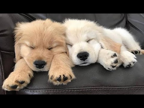 Retrievers Make It Better #9 - Funny Puppy Videos 2018
