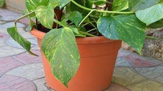 Комнатное растение сциндапсус.  Придаю другую форму лиане!