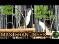 Burung Cendet Matahari Gacor  Mp3 - Mp4 Download