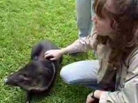 Jess pets a Peccary