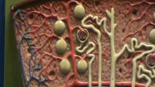 Renal Lobe Model - Cortex & Medulla.avi