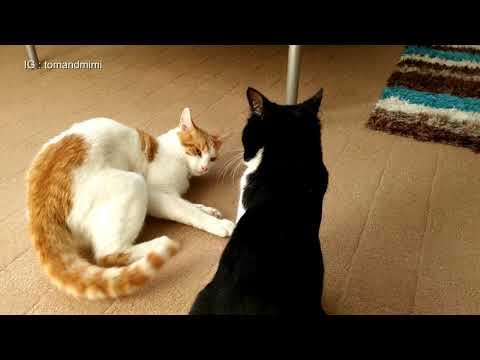 Crazy Cat fight : 4K Ultra Hd - Original