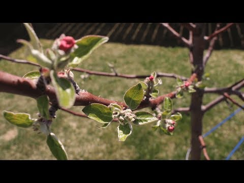 the-correct-way-to-prune-your-fruit-trees