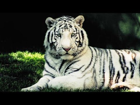 World's First Sanctuary For White Tigers Opens In Madhya Pradesh