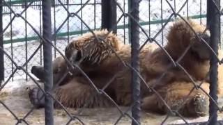 Белокоготный медведь. Тяньшанский бурый медведь. Умывается, ставит метки, играет.