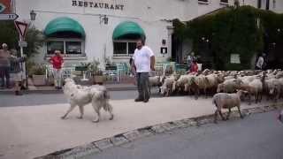 Transhumance les moutons à Castellane 2014