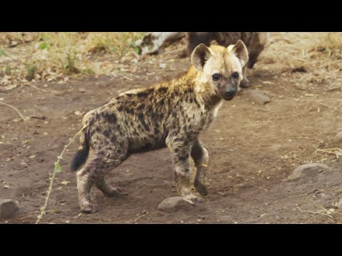 Wild Hyena Cubs | The Lion Whisperer