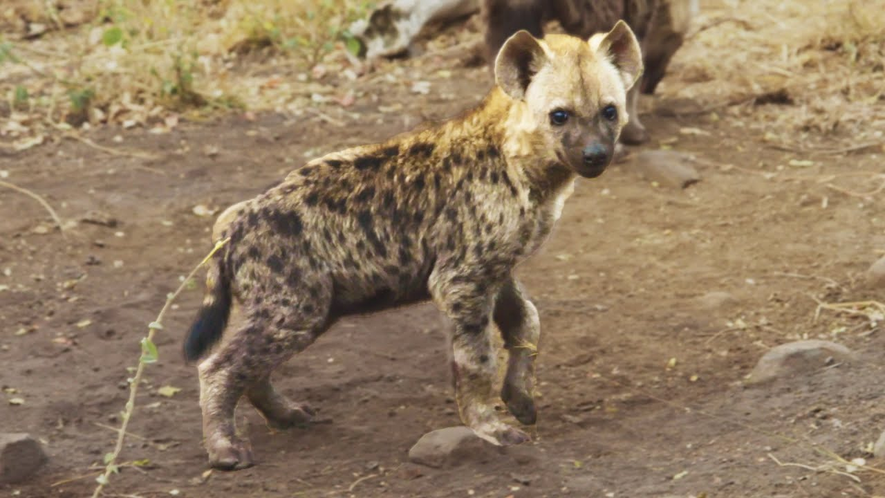wild-hyena-cubs-the-lion-whisperer