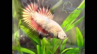 Hồ cá rồng mini BettaDance - Mang lại sự thịnh vượng!