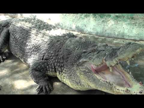 Up Close With Pangil The Crocodile