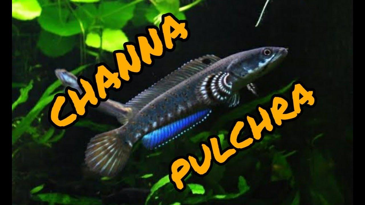 Tips Pelihara Ikan Channa Bagi Pemula Youtube
