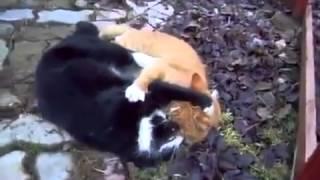 Прикольное видео! Юмор! Дерущиеся коты!Юмор! Прикол! Смех