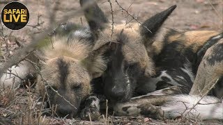 safariLIVE - Sunrise Safari - September 16, 2018