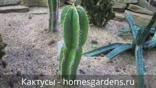 Кактусы: декоративная пустыня дома