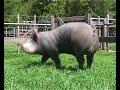 Cerdos: rusticidad y productividad