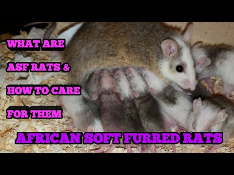 WHAT ARE ASF RATS (AFRICAN SOFT FURRED RATS) INFO AND CARE