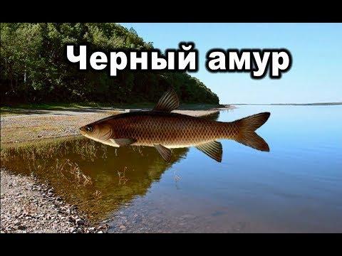 Русская рыбалка 3. Черный амур