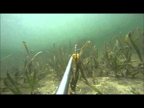 Rabbitfish And Barramundi And Seagrass, Indonesia
