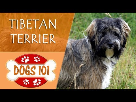 dogs-101---tibetan-terrier---top-dog-facts-about-the-tibetan-terrier