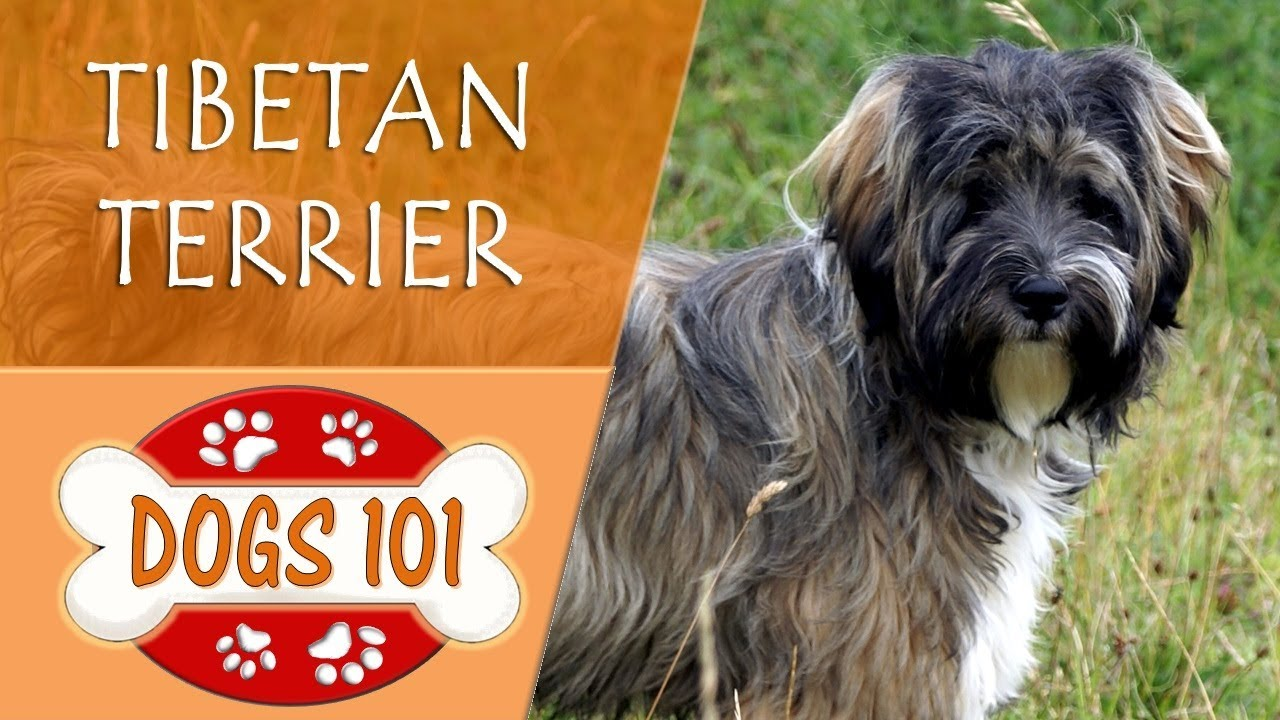 Dogs 101 - TIBETAN TERRIER - Top Dog Facts About the ...