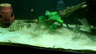 Green snook vs red jewel cichlids