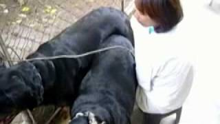 Rottweiler Breeding.mp4