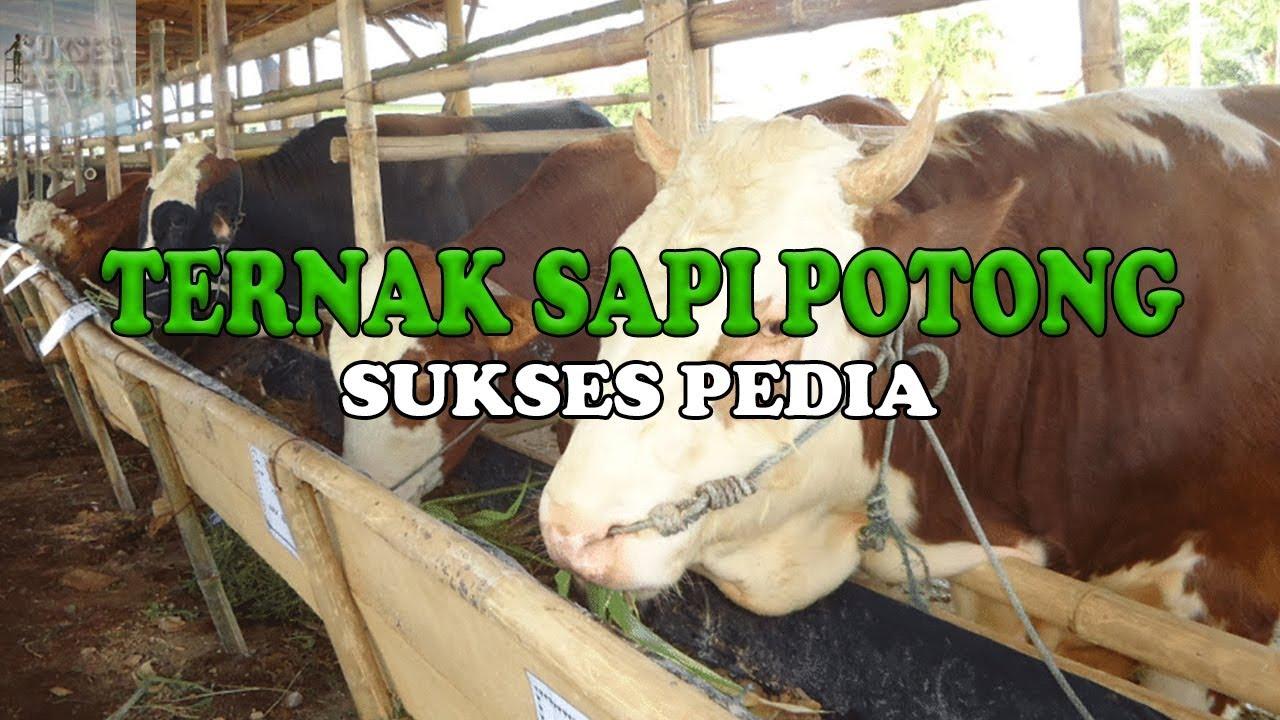 PANDUAN LENGKAP CARA TERNAK SAPI POTONG YANG BAIK BAGI ...