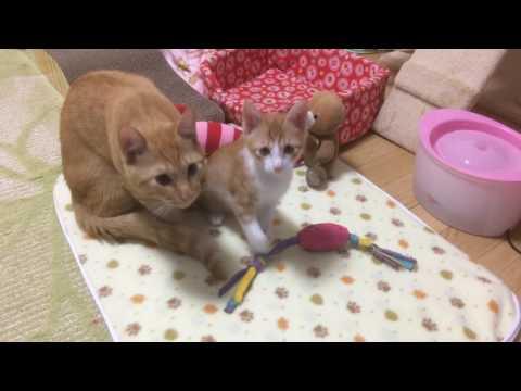 ノドをゴロゴロならしながら甘える子猫ららちゃん Ampeous kittens
