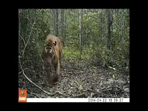 Camera Trap Video Compilation of Wild Sumatran Tigers