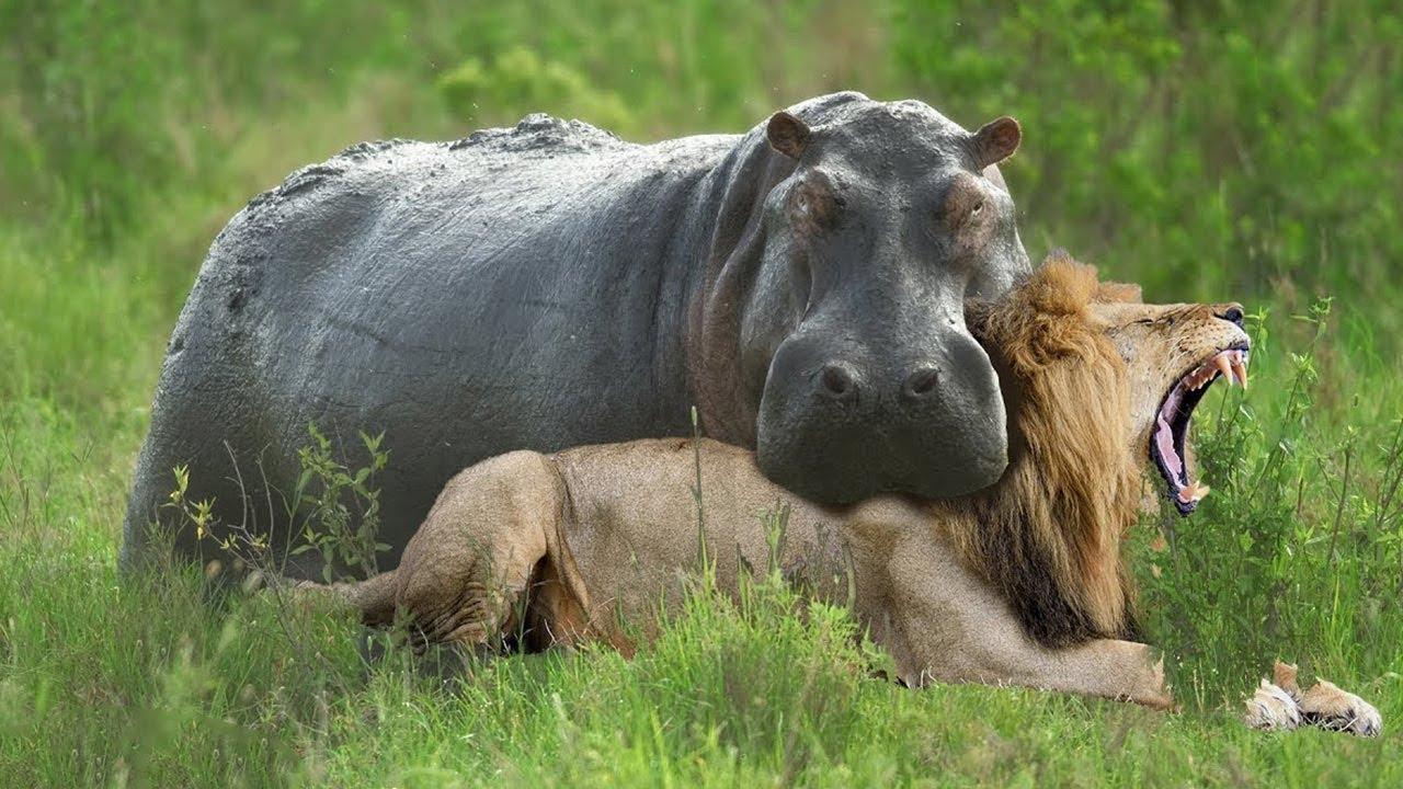 Download Top 10 Prey Who Can Kill a Lion Easily - When Prey Fights Back - Prey VS Predator