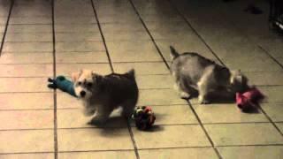 Schnoodle|poodle Mix|schnauzer Poodle Cross|sale