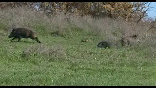 Wild boar hunting with French hounds