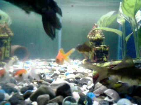 Pecera con peces goldfish telescopicos bailarinas y for Peceras con peces