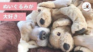 この子もお友達♪ ぬいぐるみが大好きなレトリバー姉妹がカワイイ♡【PECO TV】 thumbnail