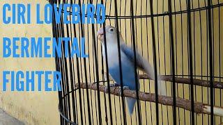 Video CIRI LOVEBIRD BERMENTAL FIGHTER download MP3, 3GP, MP4, WEBM, AVI, FLV Agustus 2018