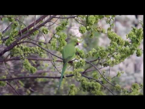 Rome's parakeets - Wanted in Rome