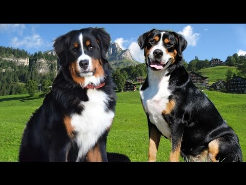 Bernese Mountain dog vs Great swiss dog  Highlights