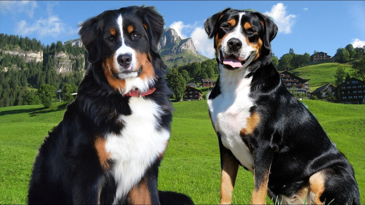 bernese mountain dog vs great swiss dog highlights youtube. Black Bedroom Furniture Sets. Home Design Ideas