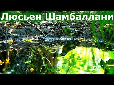 Люсьен Шамбаллани музыка для успокоения нервной системы. Лето, лес, купание птиц.