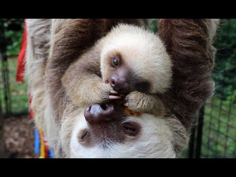 Meet Waffles The Baby Sloth At The Staten Island Zoo