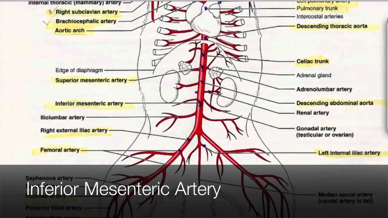 Arteries in the Lower Body Tutorial - YouTube