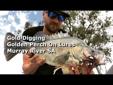 Gold Digging: Murray River SA Golden Perch On Lures GoPRO