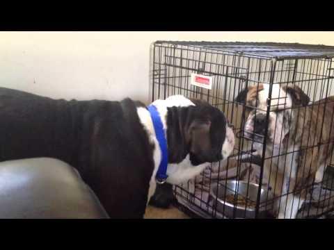 Smart Bulldog Unlocks Cage Again