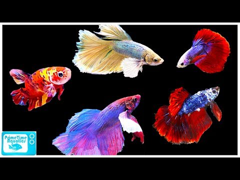 Betta Fish Care Guide: Everything You Need to Know!
