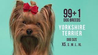 Yorkshire Terrier / 99+1 Dog Breeds