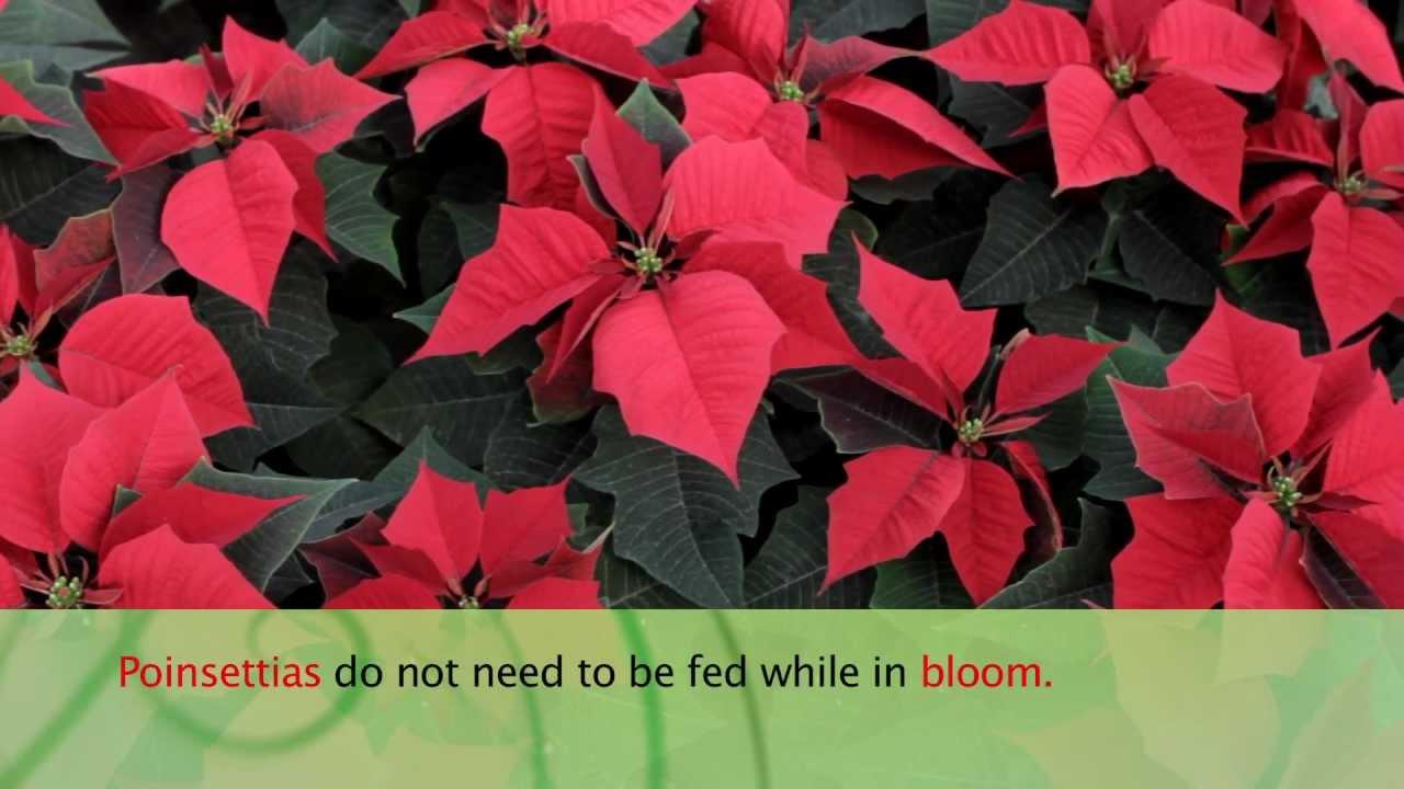 How to Care For Poinsettias - Armstrong Garden Center - YouTube