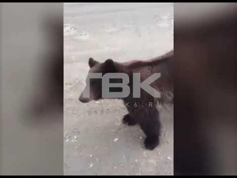 В Красноярском крае водитель КамАЗа покормил медведя с рук
